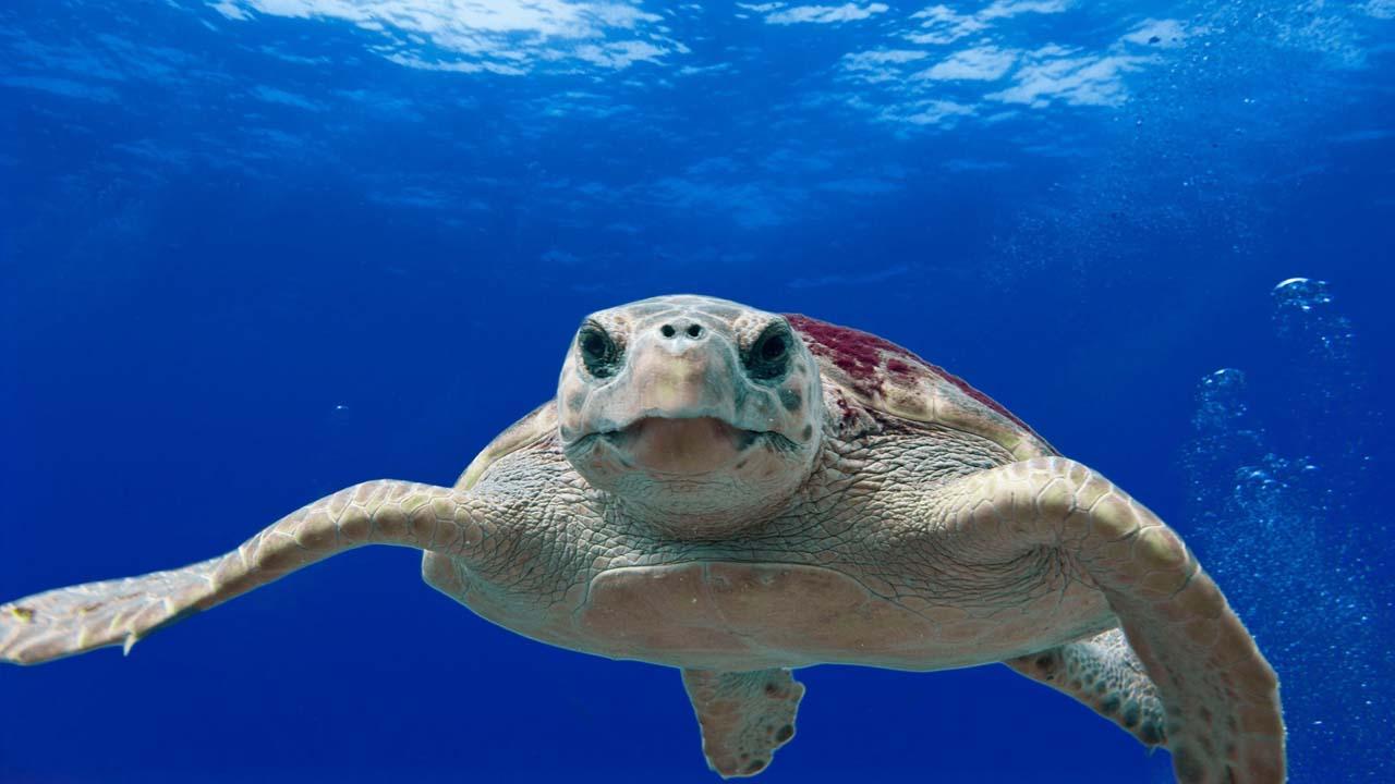 loggerhead-turtle-123402 copia