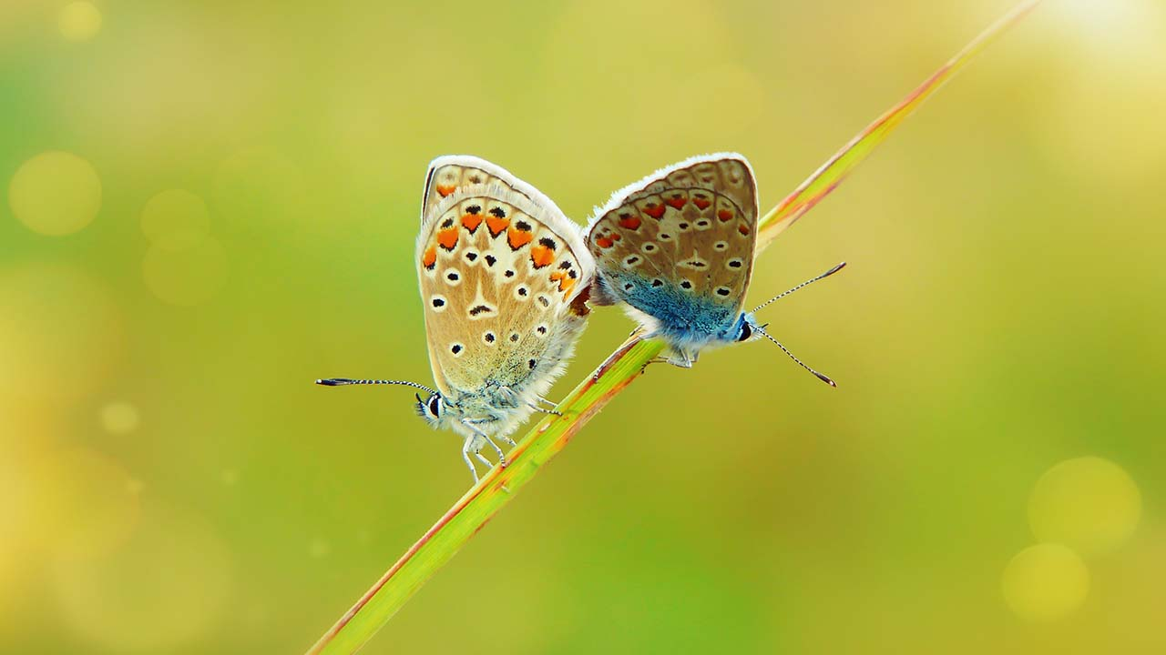polyommatus-icarus-4066785_1920