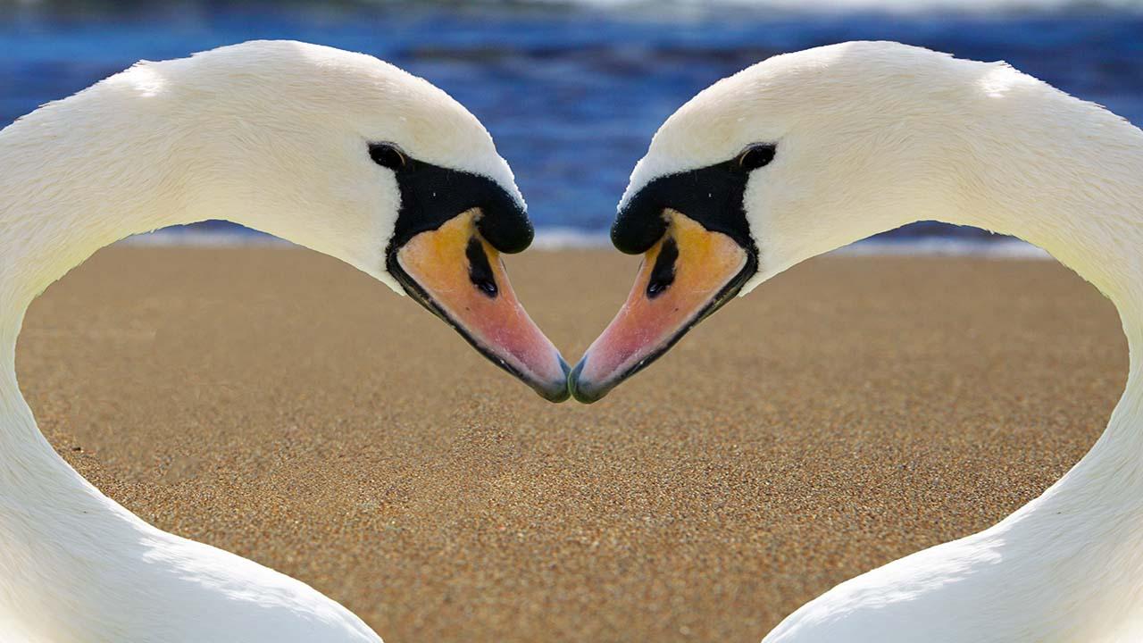 swan-2326666